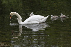 Proud Mom (carlo612001) Tags: swan