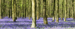 Bluebells at Angmering (zax.dreyfus) Tags: bluebells angmering