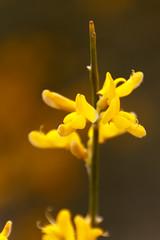 Broom (RunningRalph) Tags: flower andaluca spain espana andalusia broom spanje bloem andalusie brem cmpeta
