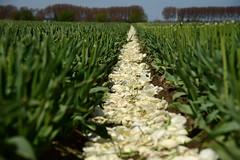 Beheaded tulips (larry_antwerp) Tags: flower netherlands nederland tulip tulp hulst flowerbulb zandberg