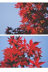 nature&stuff (ConcreteLies) Tags: blue red sky tree nature leaves contrast outside outdoors leaf diptych bright