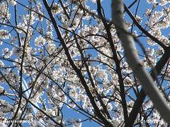 Cherry Blossom 01/05/2016 (the_greenman) Tags: bluebells conservation hazel thegreenman wildlifetrust ancientwoodland gransden oxlips waresleywood coppicemanagement wwwwaresleywoodcouk