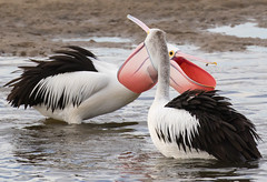 Ain't love grand (christinaportphotography) Tags: pink wild bird birds focus dof action free australia pelican nsw centralcoast courting australianpelican pelecanusconspicillatus