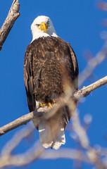 IMG_4137 (Scott Martin - Photographer) Tags: canada calgary baldeagle alberta inglewoodbirdsanctuary