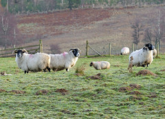 Sheep and Molehills (eric robb niven) Tags: winter walking landscape scotland sheep dundee outdoor perthshire farmland perth dunkeld ericrobbniven