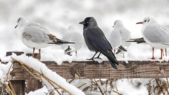0425  Jackdaw (Pete.L .Hawkins Photography) Tags: park snow birds pentax leicester bradgate jackdaw 300mmf4 petehawkins petehawkinsphotography pentaxk3 petelhawkinsphotography petelhawkins