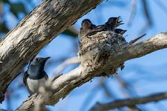 When Dad Cooks (strictfunctor) Tags: leadenflycatcher monarchidae bird passerine aves myiagrarubecula passeriformes perchingbird songbird lytton queensland australia au