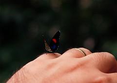 borboleta03 (Marcelo Alves - Fotgrafo) Tags: borboleta mo pouso marceloalves fotografomarceloalves