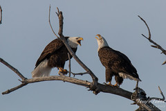 Talking Bald Eagles. Thornton, Colorado.
