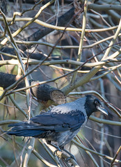 intellighenzia (stefanorasicaldogno) Tags: corvus cornacchia grigia cornix