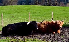 Highland cattles (j.esi1) Tags: travel nature animals scotland cattle wanderlust highland