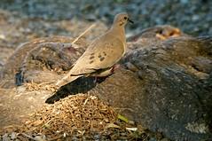 DSC_9263 (Bird Brian) Tags: eareddove