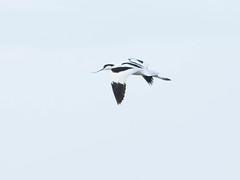 Sbelschnbler (Michael Emmerich (Photographer)) Tags: portugal flight riaformosa piedavocet recurvirostraavosetta sbelschnbler