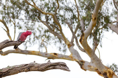 Galah (Eolophus roseicapilla) with a nice eucalypt in the background, Red Hill Nature Reserve, ACT. (Steve J Chivers) Tags: pink tree bird canon woodland gum wildlife parrot canberra eucalyptus endangered cockatoo 70300mm tamron gumtree act ecosystem galah bushland redgum yellowbox eolophusroseicapilla redhillnaturereserve eucalyptusmelliodora eucalyptusblakelyi yellowboxredgumgrassywoodland eos550d tamron70300mmf456dispvcusd canberranatureparks