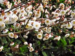 Flowering Apricot Tree (smoore23) Tags: flowers white flower tree dallas spring blossom arboretum apricot blooms dallasarboretum whiteflowers apricottree blosoms