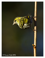 DS0D4554-Siskin (duncancooke.happydayz) Tags: bridge green bird nature birds yellow woodland garden native wildlife british hay siskin haybridge naturesgreenpeace