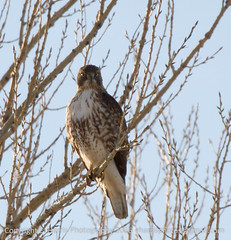 Alert Hawk (eharrisphotos) Tags: fauna colorado hawk