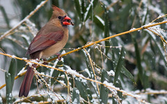 Eating Seed On the Bamboo (Family Man Studios) Tags: winter snow nature birds canon cardinal wildlife sparrow delaware newark newarkdelaware backyardbirds 70d winterscenery delawareonline dougholveck