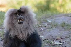 Anglų lietuvių žodynas. Žodis lion monkey reiškia liūtas, beždžionė lietuviškai.