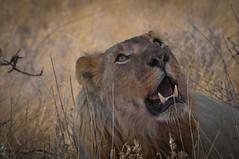 Lion distracted by Vultures (PaulHoo) Tags: nature animal danger cat nikon wildlife teeth lion pride anger safari predator vignetting namibia vignette etosha