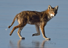 Coyote on Ice (ritchey.jj) Tags: coyote