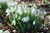 Spring is in the air (Kirkleyjohn) Tags: snowdrops springtime