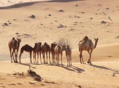 Family (gordontour) Tags: animals desert uae arabia environment camels rak unitedarabemirates rasalkhaimah