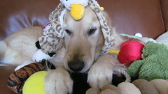 6/52 Sunny (Lianne (calobs)) Tags: dogs goldenretriever toys for plush weeks 52 chiens jouets