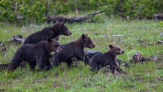 Grizzly Quads in Formation - Yellowstone
