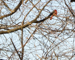 Northern Cardinal in branches (ralph miner) Tags: cardinal northerncardinal hawthornehill