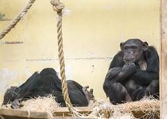 Chimp (Hans van der Boom) Tags: netherlands animal chimp nederland chimpanzee nl safaripark beeksebergen noordbrabant hilvarenbeek hilarenbeek