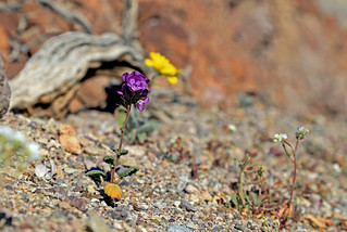 Death Valley Flowers, January 2016 (3)