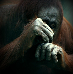 Dexterity (SteveJM2009) Tags: uk light hairy detail wool beauty focus dof hand fingers august study dorset orangutan monkeyworld dexterity stevemaskell pongopygmaeus 2014 naturethroughthelens mwaperescue