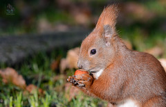 _DSC2425 (gupta.steve) Tags: park nagetier nikon makro tamron eichhörnchen säugetier
