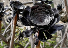 Black Flower (Nemodus photos) Tags: flower fleur blackflower fleurnoire fz1000