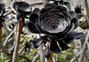 Black Flower (Nemodus photos) Tags: flower fleur blackflower fleurnoire fz1000