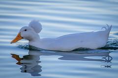 Crested White Duck (lybrand) Tags: water birds us unitedstates lasvegas wildlife nevada sunsetpark crestedwhiteduck