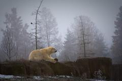 Polar bear (Ren van den Biggelaar) Tags: bear winter white beer animal zoo blijdorp polar ijsbeer dierentuin diergaardeblijdorp