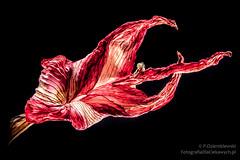 Tylne wiato i czarne to (fotodcpl) Tags: red flower minimalism kwiat czerwony