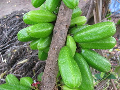 starr-130221-1604-Averrhoa_bilimbi-fruit-Waihee-Maui (Starr Environmental) Tags: averrhoabilimbi
