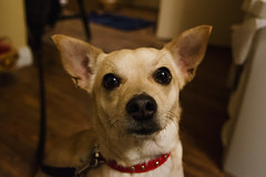 More Cute Dogger (C McCann) Tags: portrait dog chihuahua cute woof puppy tokina lacey 1116mm
