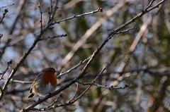 Robin (Roger Bunting) Tags: robin worksop shireoaks shireoakswoodlands feb9th16