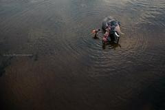 Mahouts bathing an elephant (Gulfu) Tags: india elephant tourism animal festival canon season photography bath factory view top kerala best bathing largest 6d mamal mahouts pooram elphant 14mm samyang shornur utsavam sugulu gulfu