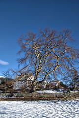 Hvite gardshus -|- White farm houses (erlingsi) Tags: houses snow tree farm tre volda snø sunnmøre farmhouses hugetree rotset storttre garsdhus