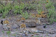 Cheetah (acinonyx jubatus) 19 (Colin Pacitti) Tags: cheetah carnivore cheetahcubs acinonyxjubatus coth cheetahfamily fantasticwildlife femalecheetah hennysanimals sunrays5