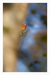 Rufous bellied woodpecker (viwake) Tags: negi uttarakhand