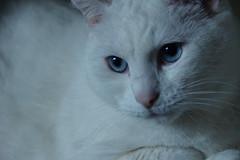 Casper (emymind) Tags: animal chat bleu casper blanc poils museau poilu