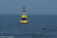Phocoena phocoena - Porpoise (bollejeanclaude) Tags: nature belgique photos be nieuwpoort porpoise dauphins marins vlaanderen mammifres marsouin