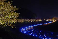 20160305-DSC_2300.jpg (d3_plus) Tags: street sea sky plant flower nature japan spring nikon scenery nightshot cloudy bloom  cherryblossom  sakura lightup nightview 28105mmf3545d nikkor    shizuoka    izu   28105   rapeblossom    28105mm  zoomlense  minamiizu    kawazuzakura    28105mmf3545 d700 281053545  nikond700 shimokamo aiafzoomnikkor28105mmf3545d nightcherryblossom 28105mmf3545af    southcherryblossomandrapeblossomfestival aiafnikkor28105mmf3545d shootingstarsandsakurainnight sakurainnight
