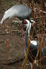 Witnekkraanvogel (tasj) Tags: zoo ouwehandsdierenpark
